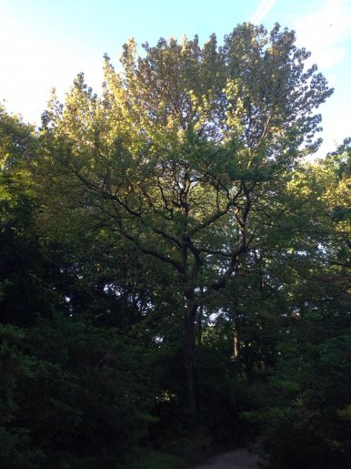 """Baum Nr. 150 """"Amberbaum"""""""