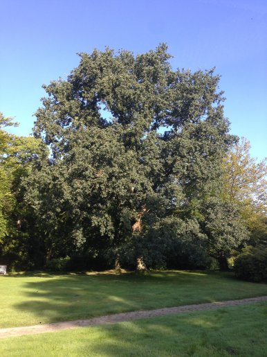 """Baum Nr. 151 """"Stieleiche"""""""