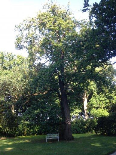 "Baum Nr. 152 ""Esskastanie"""