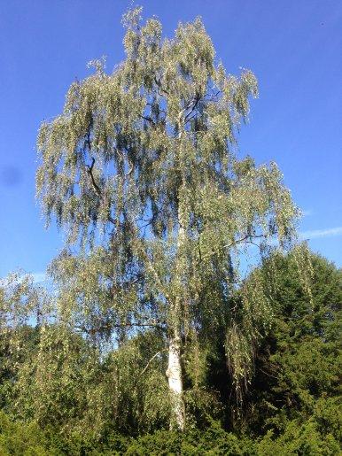 """Baum Nr. 154 """"Trauerbirke"""""""
