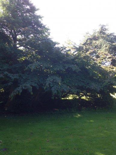 "Baum Nr. 155 ""Eisenholzbaum"""