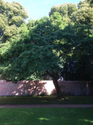 """Baum Nr. 156 """"Lederhülsenbaum"""""""