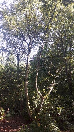 """Baum Nr. 157 """"Hängebirke"""""""