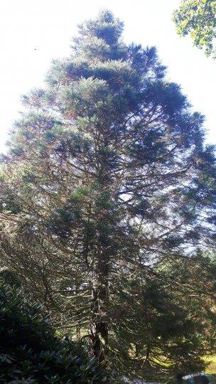 "Baum Nr. 159 ""Riesenmammutbaum"""