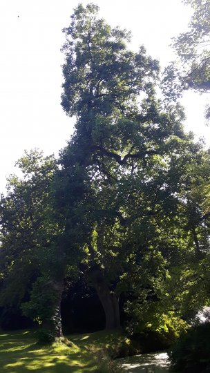 "Baum Nr. 160 ""Tulpenbaum"""