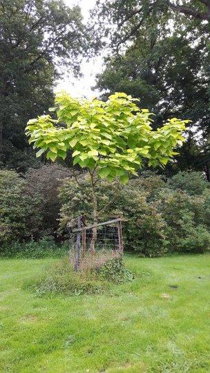 """Baum Nr. 161 """"Trompetenbaum"""""""