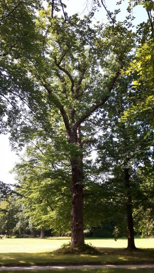 "Baum Nr. 162 ""Tulpenbaum"""