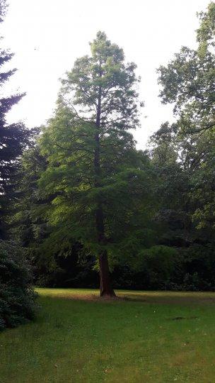 """Baum Nr. 163 """"Urweltmammutbaum"""""""