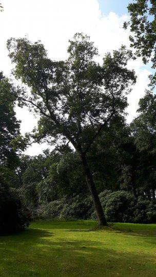 "Baum Nr. 164 ""Hickorynuss"""