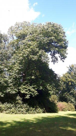 "Baum Nr. 165 ""Esskastanie"""