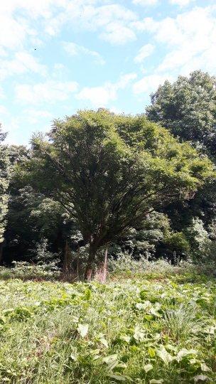 """Baum Nr. 167 """"Robinie"""""""