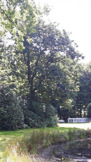 """Baum Nr. 169 """"Roteiche"""""""