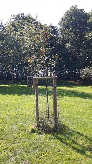 """Baum Nr. 170 """"Albrechtsapfel"""""""