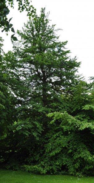 "Baum Nr. 65 ""Ginkgo"""