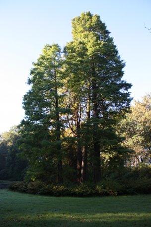 """Baum Nr. 67 """"Sumpfzypresse"""""""