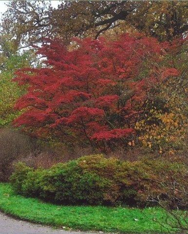 """Baum Nr. 83 """"Blütenhartriegel"""""""