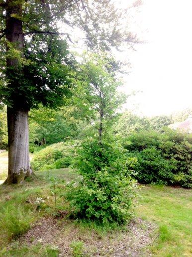 """Baum Nr. 17 """"Buche"""""""