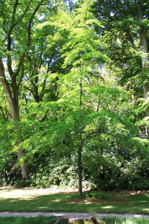 """Baum Nr. 2 """"Buche"""""""