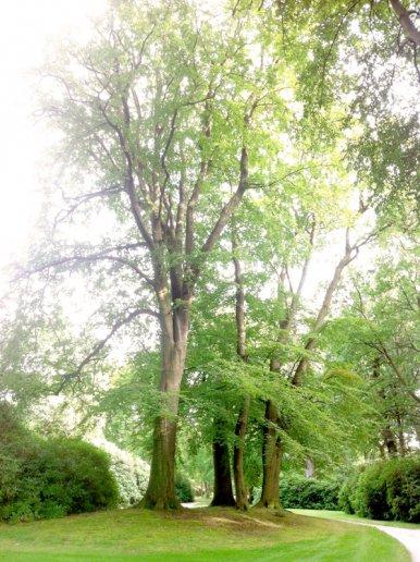 """Baum Nr. 22 """"4 Buchen im Verbund ( Familie )"""""""