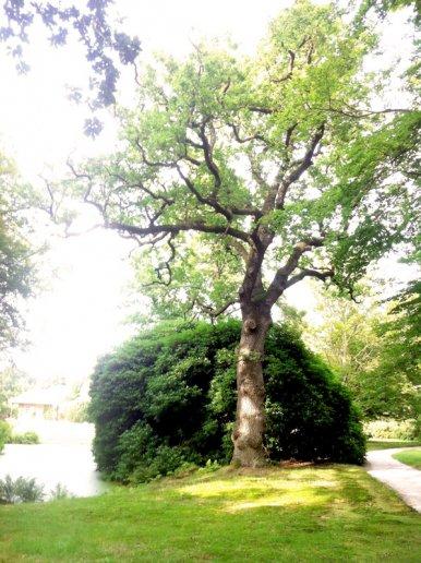 """Baum Nr. 23 a """"Eiche"""""""