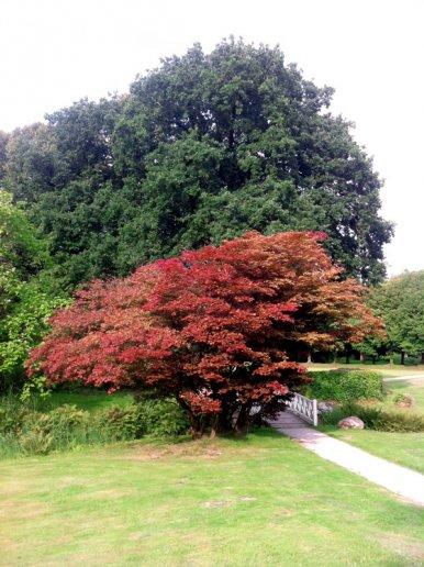"""Baum Nr. 24 """"Rotblättriger Fächerahorn"""""""