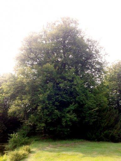 """Baum Nr. 26 """"Buche"""""""