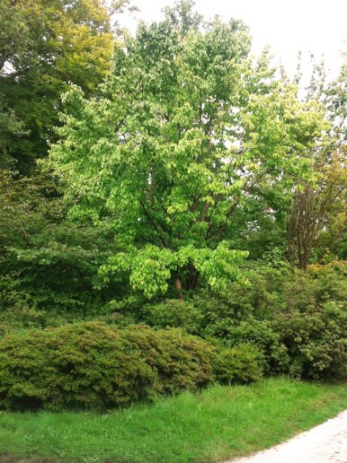 """Baum Nr. 29 """"Taubenbaum"""""""