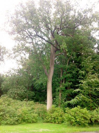 """Baum Nr. 30 """"Eiche"""""""