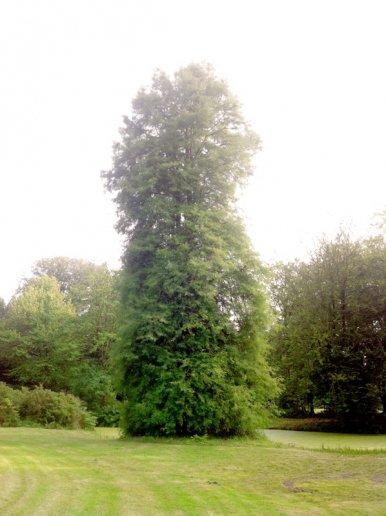 """Baum Nr. 31 """"Sumpfzypresse"""""""