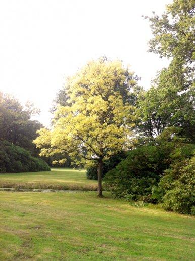 """Baum Nr. 33 """"Goldesche"""""""