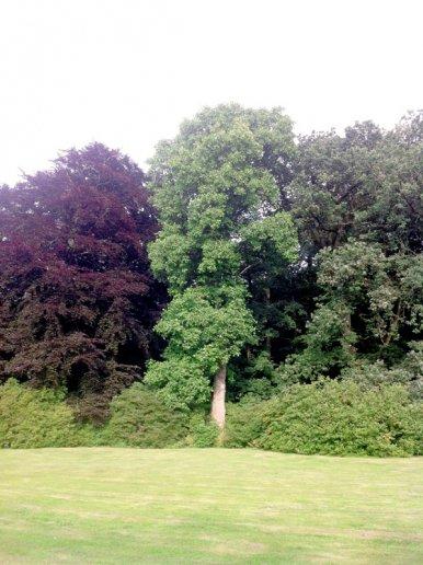 "Baum Nr. 36 ""Tulpenbaum"""