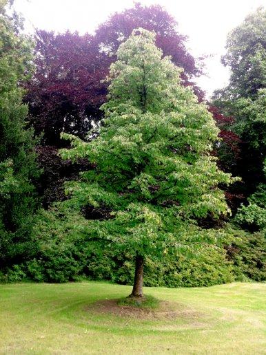 """Baum Nr. 39 """"Baumhasel"""""""