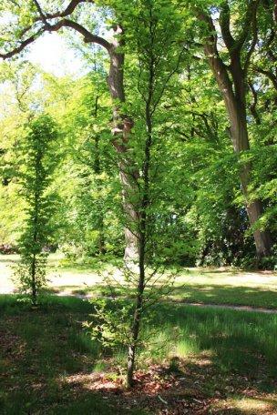 """Baum Nr. 4 """"Buche"""""""