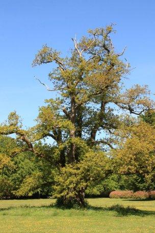 """Baum Nr. 40 """"4-stämmige Stieleiche (Familie)"""""""