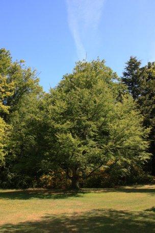 """Baum Nr. 41 """"Buche"""""""