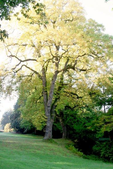 "Baum Nr. 46 ""Tulpenbaum"""