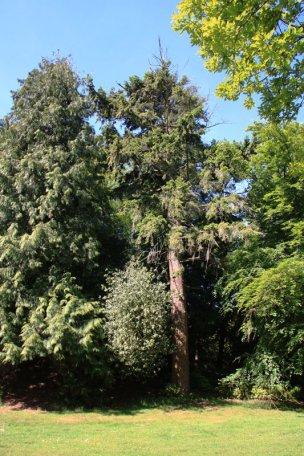 "Baum Nr. 48 ""Douglasie"""