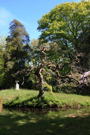 """Baum Nr. 50 """"Trauereiche"""""""