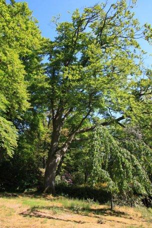 """Baum Nr. 52 """"Buche"""""""