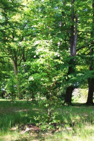 """Baum Nr. 54 """"Buche"""""""