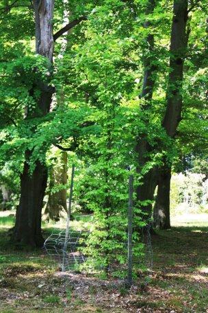 """Baum Nr. 55 """"Buche"""""""