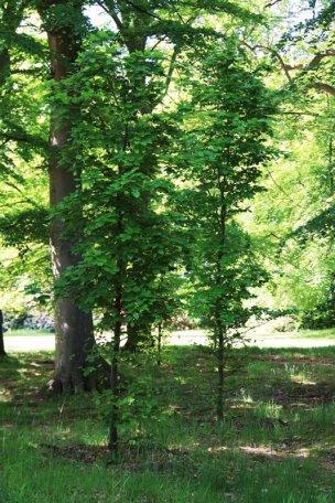 """Baum Nr. 56 """"Buche"""""""