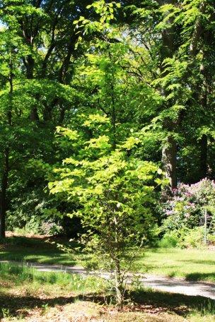 """Baum Nr. 57 """"Buche"""""""