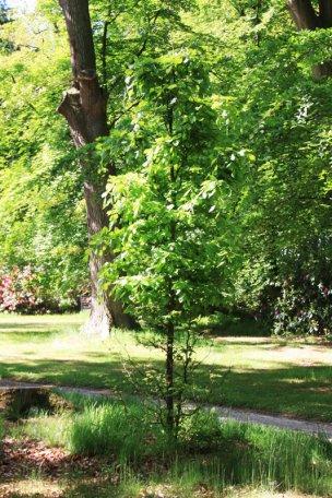 """Baum Nr. 58 """"Buche"""""""