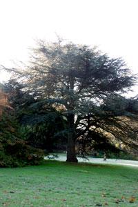 "Baum Nr. 64 ""Libanonzeder"""