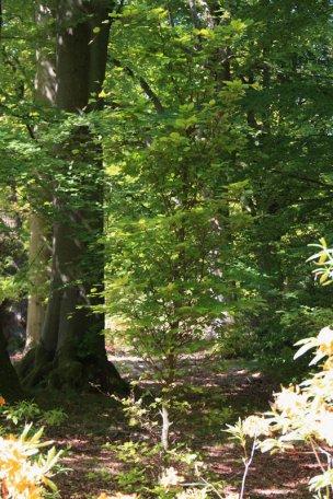 """Baum Nr. 70 """"Buche"""""""