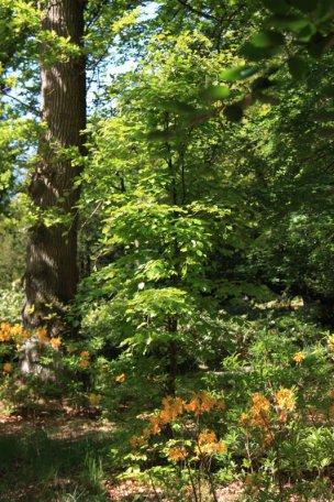 """Baum Nr. 73 """"Buche"""""""