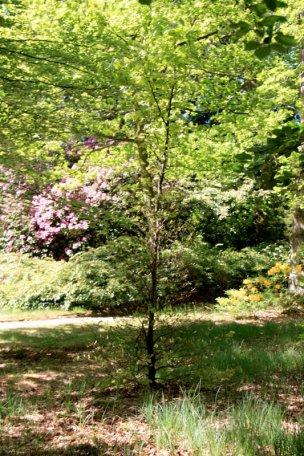 """Baum Nr. 74 """"Buche"""""""