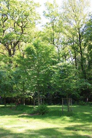 """Baum Nr. 76 """"Buche"""""""