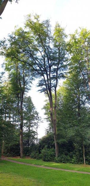 """Baum Nr. 204 """"Buche"""""""